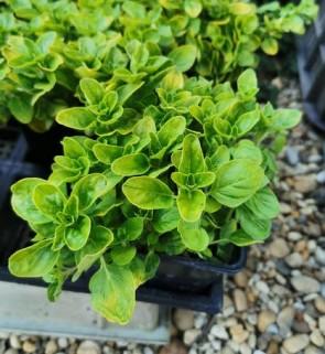 Oregánó Szurokfű sárga levelű - Origanum vulgare Aureum