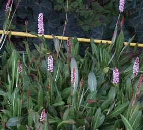 Örökzöld növények Örökzöld keserűfű talajtakaró évelő - Persicaria