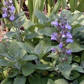 Fűszernövények Orvosi zsálya virágok - Salvia officinalis