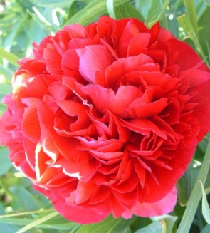 Illatos bazsarózsa teltvirágú pünkösdirózsa karmazsin vörös