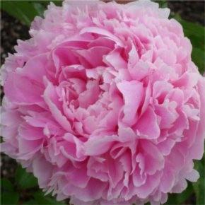 Illatos bazsarózsa rózasaszín virágú - Paeonia lactifolia Sarah Bernhardt