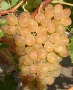 Palatina csemegeszőlő - Szőlő oltvány