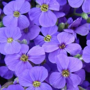 Kerti pázsitviola kék virágú sziklakerti évelő - Aubrieta Hamburger Stadtpark