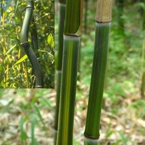 Kínai aranycsíkos bambusz - Phyllostachys aureosulcata
