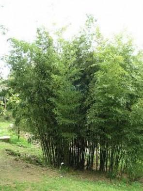 Örökzöld növények Phyllostachys nigra Henonis óriás bambusz Forrás: home-and-garden.webshots.com