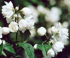 Teltvirágú jezsámen Philadelphus Schneesturm virágos cserje