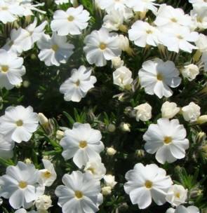 Douglas lángvirág - Phlox douglasii White Admiral