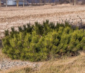 Pinus mugo var. Pumilio Párnás törpefenyő, Fotó: F. D. Richards, Flickr