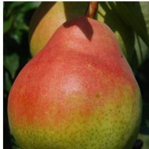 Piros Vilmos körte gyümölcsfa