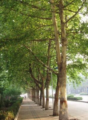 Platánfa Platanus acerifolia cserepes 80-120 cm