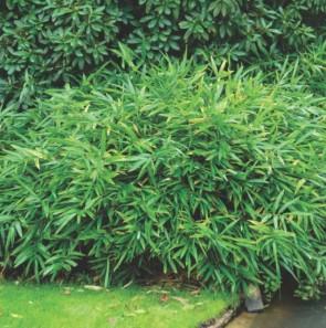 Pleioblastus pumilus, Talajtakaró törpe bambusz, Fotó: http://www.b-plant.be