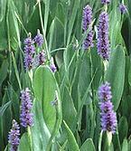 Sellővirág, Szívlevelű vízijácint - Pontederia cordata