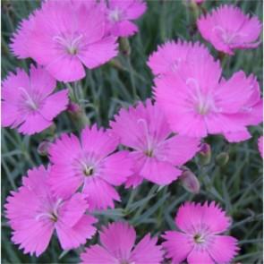 Pünkösdi szegfű lilás rózsaszín - Dianthus gratianopolitanus Amaranth