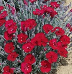 Pünkösdi szegfű Dianthus gratianopolitanus Rubin
