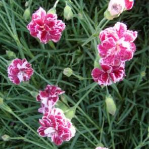 Pünkösdi szegfű tarka virágú - Dianthus gratianopolitanus Whatfield Gem - sziklakerti évelő
