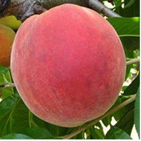 Redhaven őszibarack gyümölcsfa