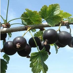 Rikő - ribizli köszméte gyümölcs