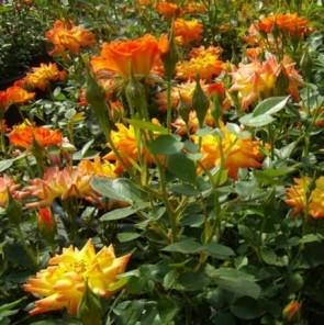 Narancssárga törpe mini rózsa Rosa Baby Darling