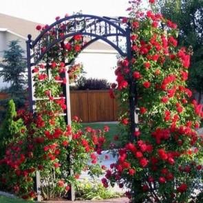 Vörös virágú futó rózsa Rosa Demokracie