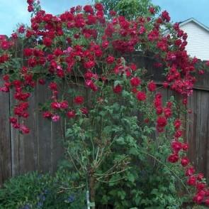 Bordó virágú futórózsa - Don Juan - Konténeres rózsa