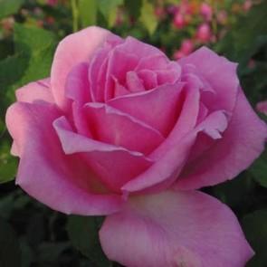 Ezüstös rózsaszín teahibrid rózsa Rosa Eiffel Tower