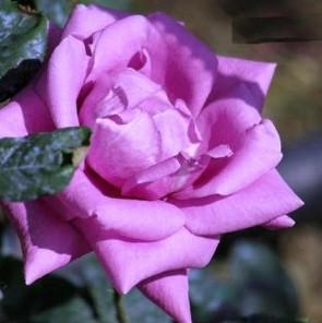 Sötétlila virágú illatos teahibrid vágó rózsa - Rosa Eminence - Konténeres rózsa