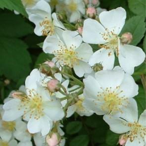 Sokvirágú rózsa Rosa multiflora 30 cm cserepes vadrózsa