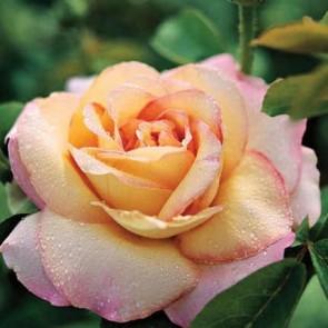 Sárga rózsaszín teahibrid rózsa  Rosa Peace