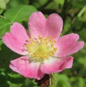 Rozsdás rózsa Sövényrózsa Vadrózsa Rosa rubiginosa