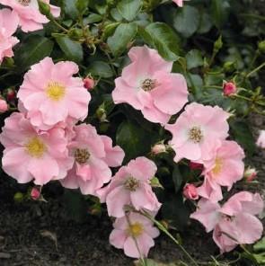 Világos rózsaszín talajtakaró rózsa Rosa Satin Haze