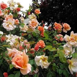Narancsos sárga futó rózsa  Rosa Sutter's Gold