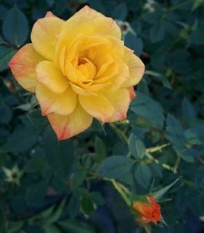 Rézsárga törpe mini rózsa Rosa Korcelin