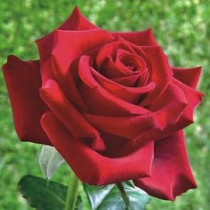 Sötét karmazsin virágú illatos teahibrid rózsa Rosa Schwarze Madonna