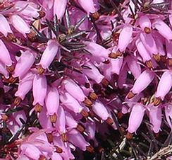 Erika rózsaszín - Erica carnea - Örökzöld törpecserje