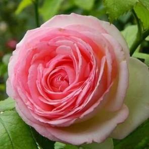 Rózsaszín virágú futó rózsa - Rosa Meiviolin