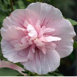 Rózsaszín virágú Mályvacserje - Hibiscus syriacus Pink Chiffon