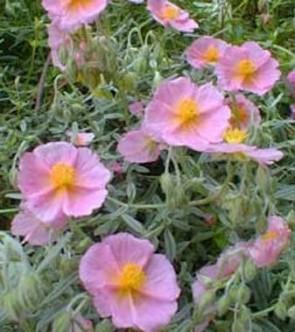 Rózsaszín napvirág - Helianthemum Wisley Pink