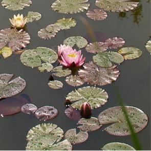Rózsaszín tavirózsa Nymphaea Hollandia tündérrózsa