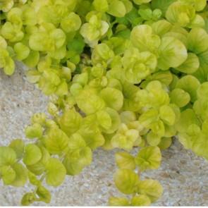 Pénzlevelű lizinka sárga levelű - Lysimachia numularia Aurea