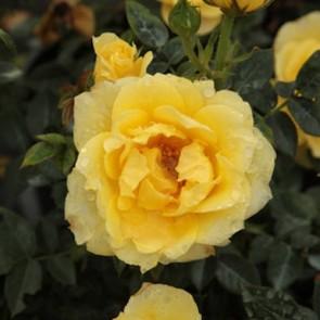 Miniatűr Sárga Rózsa Sárga minirózsa Rosa miniature Yellow