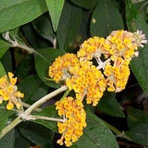 Sárga virágú nyáriorgona - Buddleja weyeriana Sungold