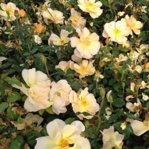Sárga talajtakaró rózsa Rosa Piprenelle