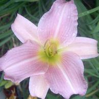 Rózsaszín virágú sásliliom Hemerocallis Catherine Woodbury