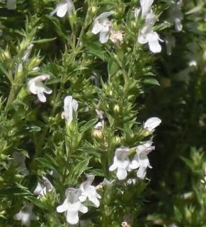 Borsikafű Csombor Satureja montana fűszernövény cserepes