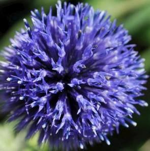 Sötétkék szamárkenyér - Echinops ritro Weitch's Blue