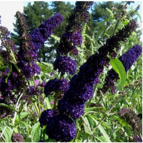 Sötétlila virágú nyáriorgona - Buddleja Black Knight