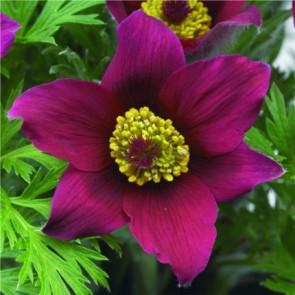 Sziklakerti évelők Piros virágú kökörcsin virág - Pulsatilla