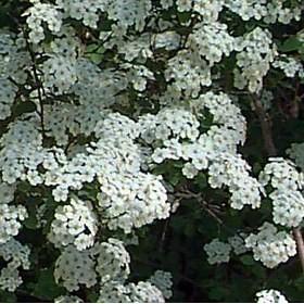 Kerti gyöngyvessző virágok - Spiraea vanhouttei