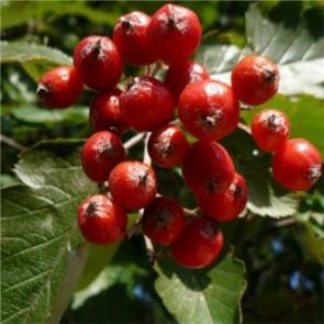 Svéd berkenye gyümölcsök - Sorbus intermedia
