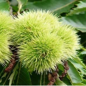 Szelídgesztenye magonc szelídgesztenye fa gyümölcs - Castanea sativa